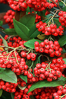 Winter Berries Stock Images