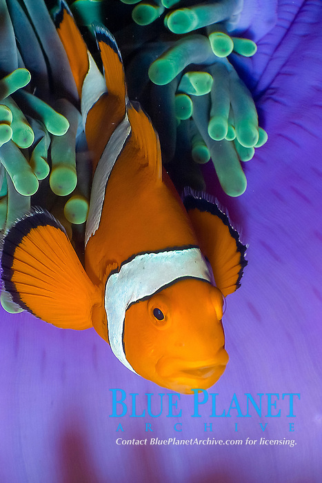 Western or false clownfish Amphiprion ocellaris in a purple host anemone, East of Eden. The Similan islands, Andaman Sea, Indian Ocean, Thailand, Asia