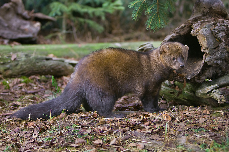 Fisher standing outside a hollow log - CA