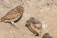 A female Burrowing Owl encourages her owlets to explore outside their burrow at just over one week old. (Washington)