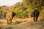 African Elephant (Loxodonta africana) bulls browsing, Greater Makalali Private Game Reserve, South Africa