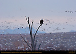 Bald Eagle Watching the Morning Flyout of the Snow Geese, Bosque del Apache Wildlife Refuge, New Mexico