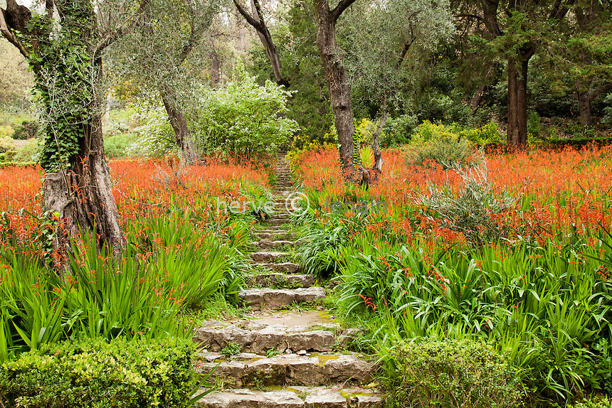 France, Alpes-Maritimes (06), Menton, jardin Serre de la Madone,.sous-bois d'oliviers et tapis de chasmanthes en fleurs (Chasmanthe bicolor), l'escalier dit lescalier de l'Ange // France, Alpes Maritimes, Menton, Garden Serre de la Madone, underwood with olive trees and chasmanthes (Chasmanthe bicolor), stairs