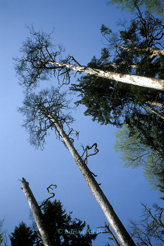 Scots pines of over100 ft can be found in Bialowieza  national forest reserve in Poland.  This wild region of  Eastern Poland abutting the border with Byelorussia is one of the last remnants of wild forest that once covered the whole of europe.