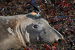 female elephant seal with satellite tracking device