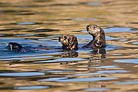 Sea Otters, California