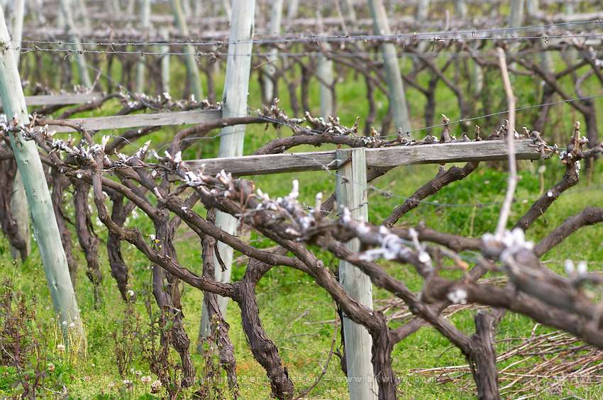 Vines after winter pruning with the cuts painted in white to protect from infections, trained in a lyre type of pruning Vinedos y Bodega Filgueira Winery, Cuchilla Verde, Canelones, Montevideo, Uruguay, South America