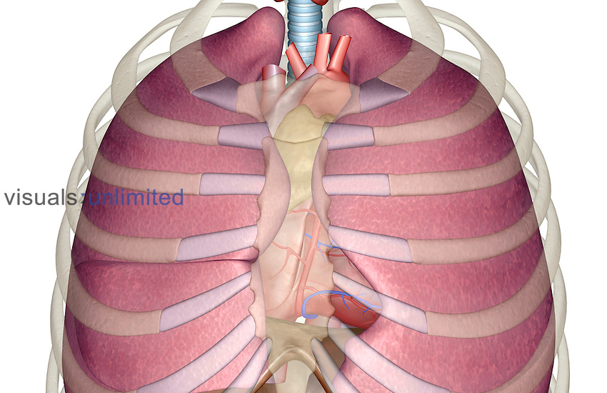 An anterior view of the respiratory system relative to the ribcage and vertebral column. The heart is also included. Royalty Free