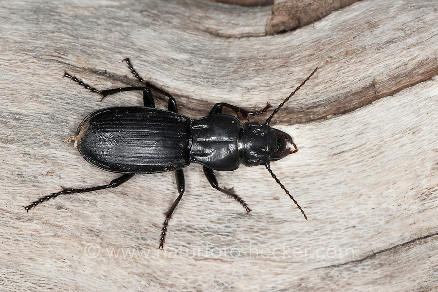 Laufkäfer, Percus spec., ground beetle, ground-beetle