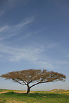 Israel, the northern Negev. Acacia Raddiana tree by Besor scenic road