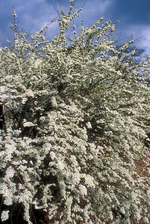 Spiraea thunbergii in bloom, spring flowering shrub against blue sky