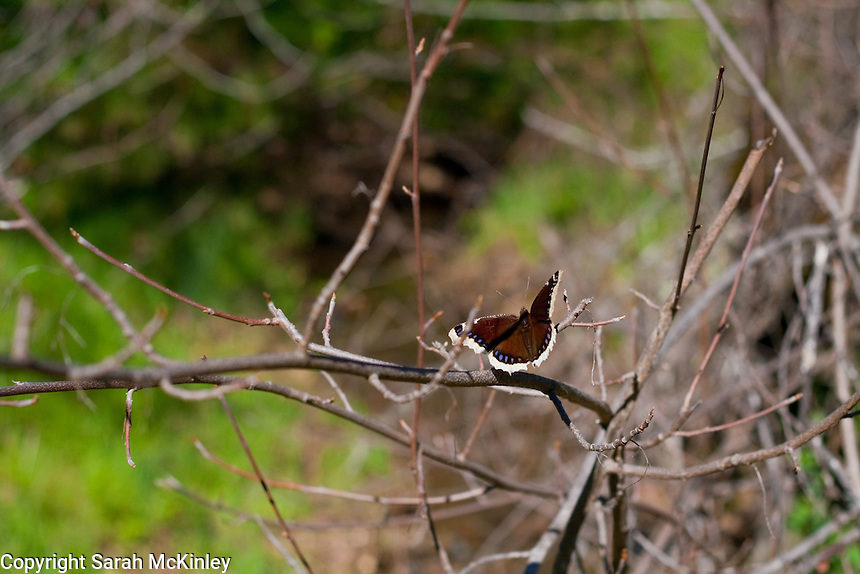 A Mourning Cloak Butterfly enjoys the sun while perched on slender branches in Low Gap Park in Ukiah in Mendocino County in Northern California.