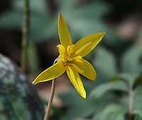 Courtesy photo/TERRY STANFILL<br /> EARLY BLOSSOM<br /> A trout lily is seen in bloom in west Benton County. Terry Stanfill of the Decatur area took the picture in March near his home.