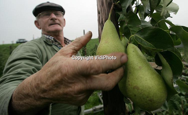 Foto: VidiPhoto..DRIEL - In het Betuwse Driel is fruitteler C. Verplak begonnen met de oogst van de peren (conference). Verplak is hiermee een stuk vroeger dan de meeste andere fruittelers. Reden is dat de jonge perenbomen anders bezwijken onder de volle takken. De bomen zitten namelijk bomvol fruit. Bovendien zijn de prijzen op de veiling een stuk hoger dan normaal door het nog beperkte aanbod.