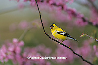 01640-05410 American Goldfinch (Carduelis tristis) male in Redbud tree Marion Co. IL