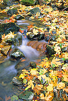 Autumn maple leaves on creek California