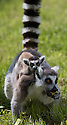 16/05/16<br /> <br /> &quot;What you eating mum?&quot;<br /> <br /> Three baby ring-tail lemurs began climbing lessons for the first time today. The four-week-old babies, born days apart from one another, were reluctant to leave their mothers&rsquo; backs to start with but after encouragement from their doting parents they were soon scaling rocks and trees in their enclosure. One of the youngsters even swung from a branch one-handed, at Peak Wildlife Park in the Staffordshire Peak District. The lesson was brief and the adorable babies soon returned to their mums for snacks and cuddles in the sunshine.<br /> All Rights Reserved F Stop Press Ltd +44 (0)1335 418365