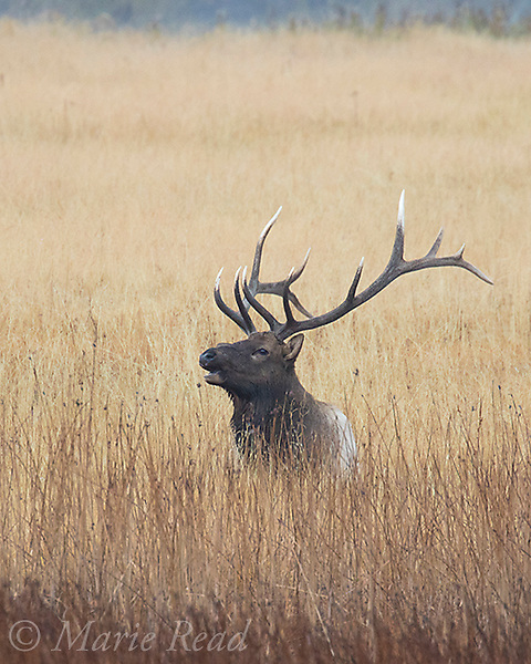 Elk (Cervus elaphus) (AKA Wapiti), male bugling, Hayden Valley, Yellowstone National Park, Wyoming, USA