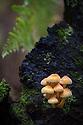 Sulphur Tuft fungus {Hypholoma fasciculare}. Sherwood Forest National Nature Reserve, Nottinghamshire, UK. October.