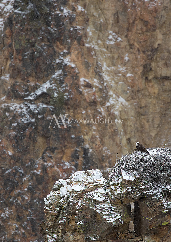 An osprey awaits its mate while sitting on a nest in the Grand Canyon of the Yellowstone.