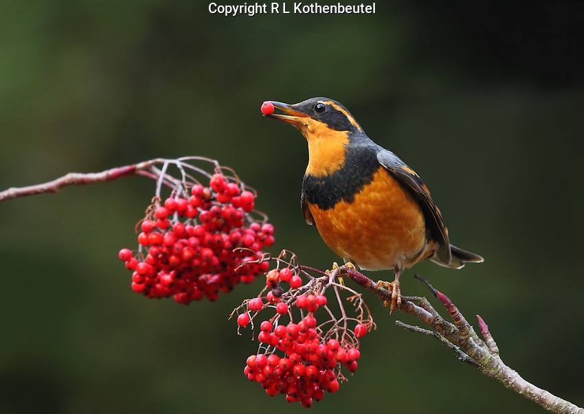 A male varied thrush feeds on the red berries of a mountain ash tree.<br />