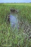 1G06-020a  Cord Grass - tall form, stream side habitat, Atlantic Coast  - Spartina alterniflora