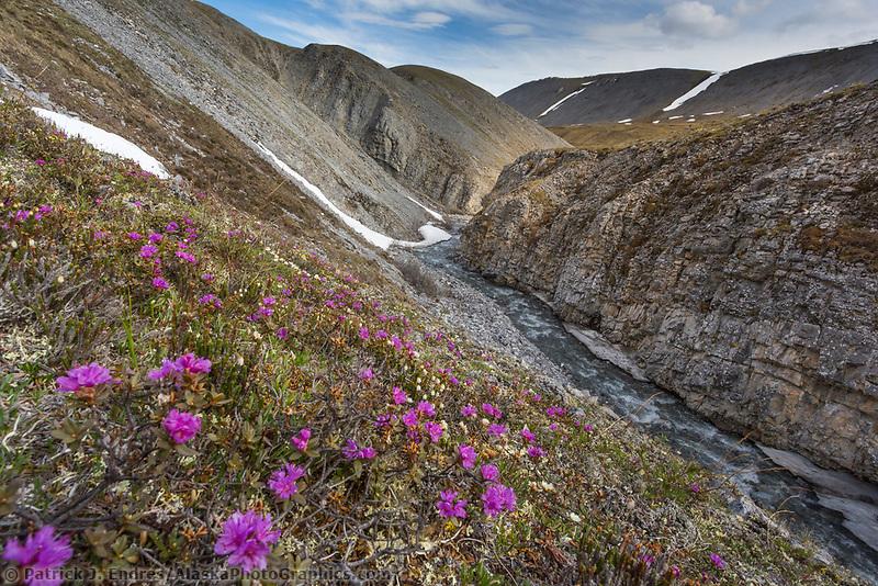 Lapland roesbay, wildflowers in the Arctic National Wildlife Refuge, Brooks Range, Arctic Alaska.