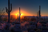 The sun sets amongst the cactus at Saguaro National Park, Arizona
