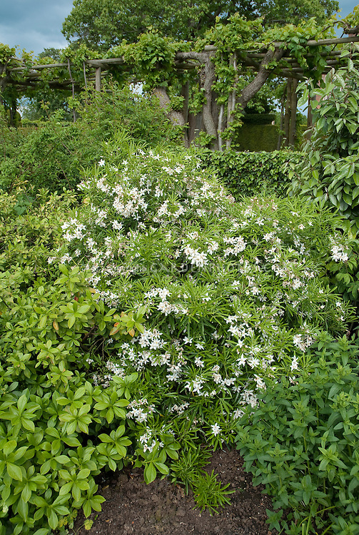 Choisya ternata aztec pearl plant flower stock photography choisya aztec pearl white flowering shrub bush in garden landscape bed with trellis mightylinksfo