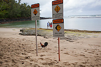 A rooster walks by signs off of Ke'e Beach on Kauai, HI
