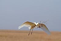 Lepelaar, vliegend met nestmateriaal / Eurasian spoonbill in flight with nesting material