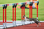 Cat, <br /> AUGUST 25, 2018 - Athletics : Women's 100mH Qualification at Gelora Bung Karno Main Stadium during the 2018 Jakarta Palembang Asian Games in Jakarta, Indonesia. <br /> (Photo by MATSUO.K/AFLO SPORT)