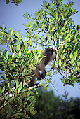 Manaus, Brazil. Wooly monkey (Lagothrix lagothricha) moving through the trees at Ecopark reserve.