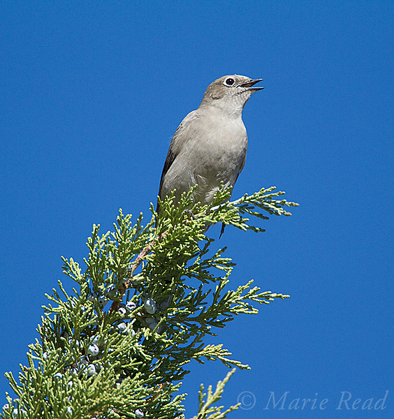 Townsend's Solitaire (Myadestes townsendi), singing to defend its winter territory, perched in Western Juniper in autumn, Mono Lake Basin, California, USA.