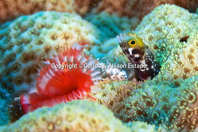 Acanthemblemaria spinosa, Spinyhead blenny, Grand Cayman