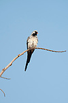 Namaqua dove, Oena capensis aliena, Perched, Ifaty, Madagascar, Least Concern on the IUCN Red List