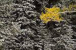A lone aspen tree limb in fall color against dark fir trees with snow in the La Sal Mountains near Moab, Utah.