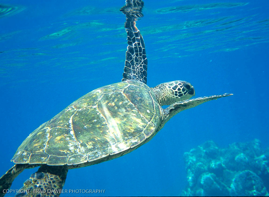 Honu at Tunnels