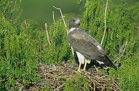 White-tailed Hawk, Buteo albicaudatus,adult on nest in Mesquite tree, Welder Wildlife Refuge, Sinton, Texas, USA