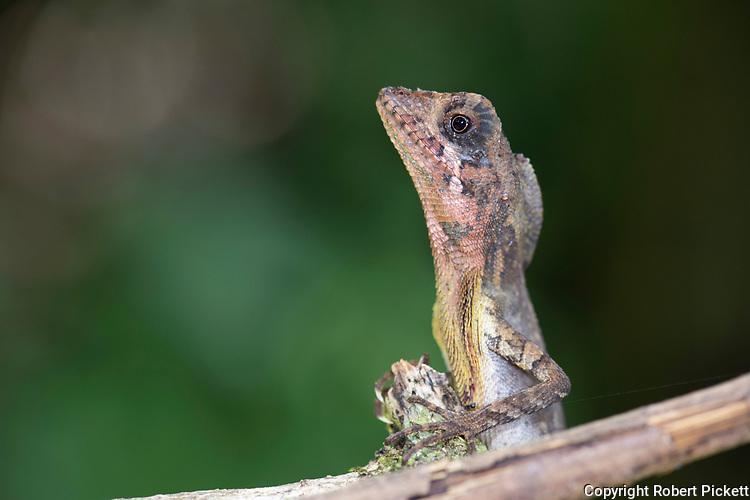 Black Spotted Kangaroo Lizard or Blac Patched, Otocryptis nigristigma, Sinharaja World Heritage Site, Sri Lanka