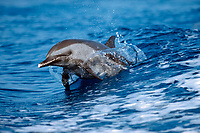 pantropical spotted dolphin, Stenella attenuata, in boat wake off Kona, Big Island, Hawaii, Pacific Ocean