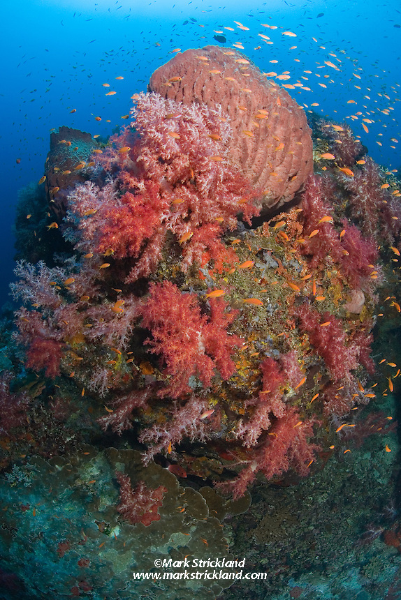 This deep rocky point is home to a rich community of marine life, including huge barrel sponges, vibrant soft corals, and schooling anthias. Narcondam Island, Andaman Islands, Andaman Sea, India