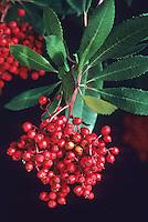 Heteromeles arbutifolia - Toyon or Christmas Berry