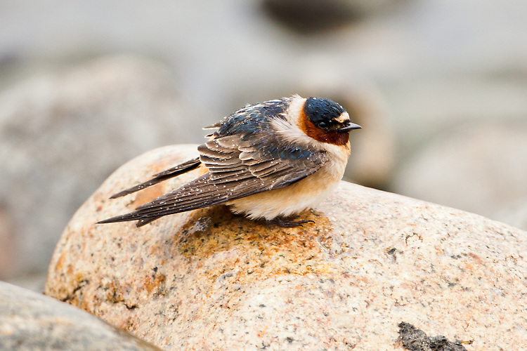 Cliff Swallow, North Dakota.