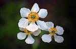 July 26, 2016 - Aspen, Colorado, U.S. -  Wildflowers are in abundance along the Lost Man Trail in the Hunter-Fryingpan Wilderness Area which is a popular hike especially during wildflower season near Aspen, Colorado.