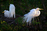 Nesting Great Egrets, Osceola County, Florida