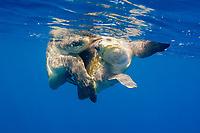Olive Ridley sea turtle, Lepidochelys olivacea, mating, Bahia de Banderas, near Puerta Vallarta, Mexico, Pacific Ocean