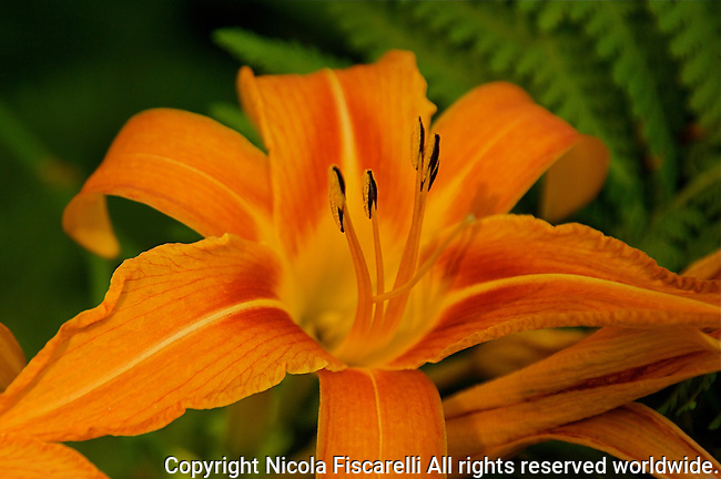 A close-up of a beautiful orange colored Day Lily ( Hemerocallis fulva ) ,with a green background.