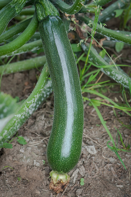 Courgette 'Venus', early August.