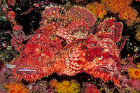 A pair of Tassled Scorpionfish, Scorpaenopsis barbatus, snuggle among orange cup corals. Black Rock; Mergui Archipelago; Myanmar, Andaman Sea
